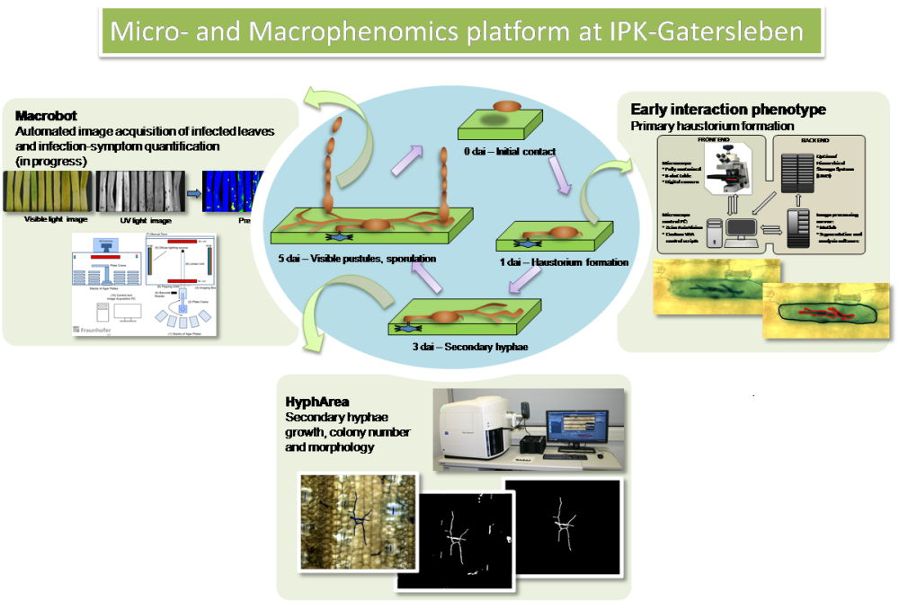 Figure 1. Overview of the Micro- and Macrophenomics platform. The interaction of pathogenic fungi with plants is monitored in three different stages: early (establishment of haustorium), intermediate (secondary hyphae formation and growth) and late (disease symptoms rating).